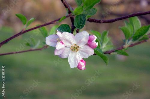 Fotografie, Obraz  Single Isolated pink and white apple blossom and buds close up