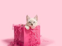 White Kitten In Pink Birthday Present