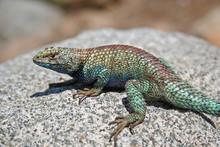 Male Granite Spiny Lizard (Sce...