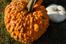 Pimply Orange Pumpkin Covered In Bumps And White Squash In Outdoor Market Prince Edward County At Fall Harvest