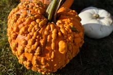 Pimply Orange Pumpkin Covered ...