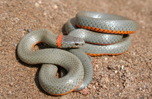 San Diego Ring-necked Snake (D...