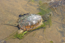 Common Snapping Turtle (Chelyd...