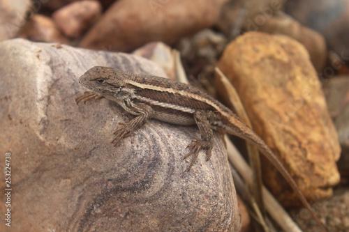 Photographie  Stiped Plateau Lizard (Sceloporus virgatus)