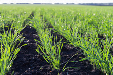 Young Shoots Of Winter Wheat In Spring Green Field, Rows Close Up