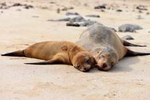 Two Galapagos Sea  Lions (Zalophus Wollebaeki) Lying On The Beach. Galapagos Islands, Ecuador