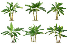 Banana Trees Collection Isolat...