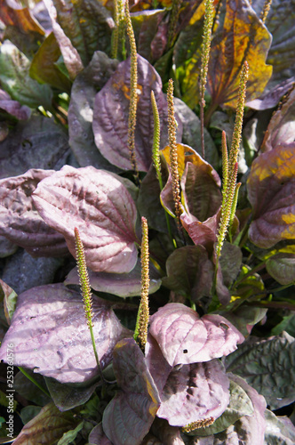 Fotografia, Obraz Plantago major purple perversion plant
