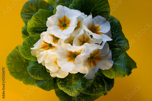Fotografie, Obraz  close up of  pot of white primroses on yellow background