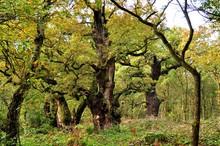 Huge Oak Trees In England