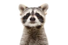 Portrait Of A Cute Funny Racco...