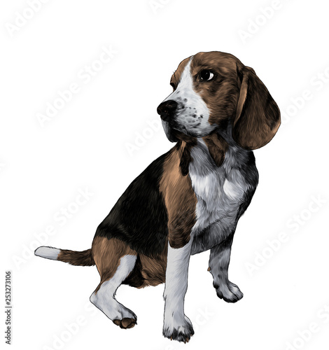Foto  dog breed Beagle sitting full length and looking sideways, sketch vector graphic