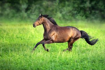 Bay horse run on green pasture