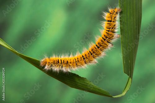 Fotografía  Eggar Moth (lasiocampa trifolii) caterpillar