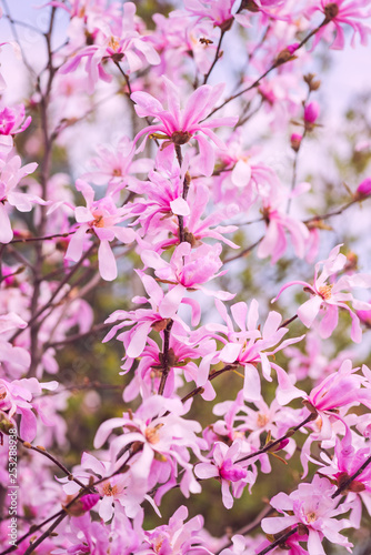 Tuinposter Magnolia Blossoming of rare magnolia stellata pink flowers in a spring garden, natural seasonal floral background with copyspace, vertical image