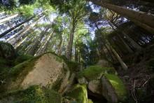 Floresta De Pinheiros Nórdico...