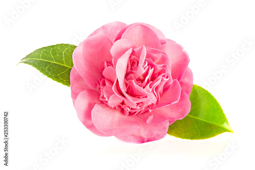 Pink camellia flower isolated on white background Fototapete