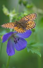 Butterfly On A Blue Flower.