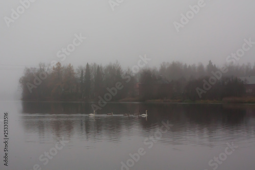 Photo Stands Lavender Autumn dark calm landscape on a foggy river with a white swans and trees reflection in water. Finland, river Kymijoki.