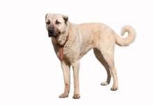 Anatolian Shepherd Dog (sivas Kangal) In Isolated White Background
