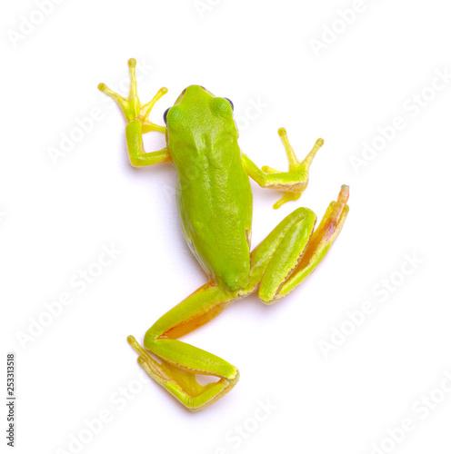 Cuadros en Lienzo Green tree frog