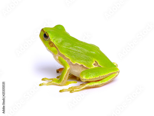 Poster Kikker Green tree frog
