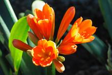 Closeup Of Orange Kaffir Lily Flower
