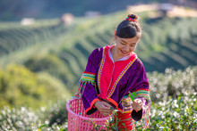 Young Woman Asian Farmer Picking Little Green Tea Agricultural Area On The Mountain Chiang Rai Thailand
