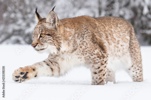 Foto auf Leinwand Luchs Young Eurasian lynx on snow. Amazing animal, running freely on snow covered meadow on cold day. Beautiful natural shot in original and natural location. Cute cub yet dangerous and endangered predator.