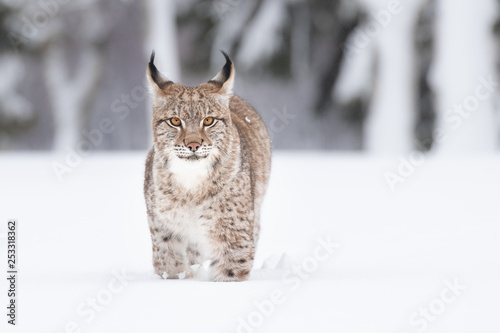 Aluminium Prints Lynx Young Eurasian lynx on snow. Amazing animal, running freely on snow covered meadow on cold day. Beautiful natural shot in original and natural location. Cute cub yet dangerous and endangered predator.