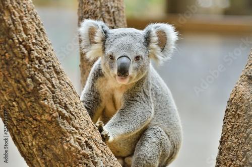 Montage in der Fensternische Koala コアラ