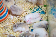 Cute Innocent Baby Gray And White Roborovski Hamsters Sleeping Tight On Sawdust Material Bedding. House Pet Care, Love, Rodent Animal Farming, Human Friend Or Companion And Leisure Activities Concept.