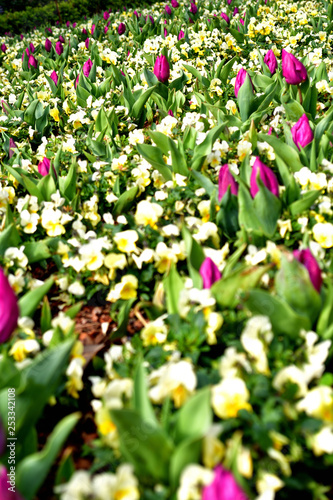 Photo  Flower field Tulip Budding