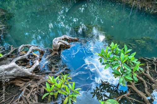 Fotografering  beautiful roots of mangrove can see through in clean water at Tha Pom Klong Song