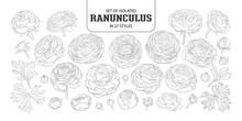 Set Of Isolated Ranunculus In 27 Styles.