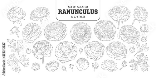 Fotografía Set of isolated Ranunculus in 27 styles.