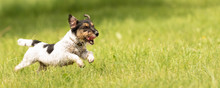 Fast Jack Russell Terrier Dog Is Running Sideways Over A Green Meadow In Spring