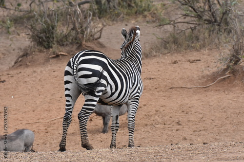 Plains zebra in Serengeti National Park, Tanzania
