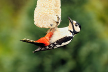 Great Spotted Woodpecker; Dend...