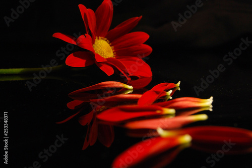 Obraz Close up of a red daisy with petals in front on a black background - fototapety do salonu