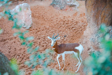 The Blesbok Or Blesbuck (Damaliscus Pygargus Phillipsi) Is An Antelope Endemic To South Africa