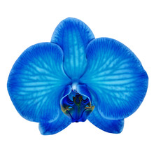 Blue Cyan Orchid Flower Isolated White Background With Clipping Path. Flower Bud Close-up. Nature.