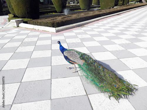 Foto op Aluminium Pauw Peacock in Retiro Park, Madrid