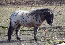 Mini-Shetland Pony Auf Der Weide