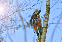Worker At Work From Tall Tree Cutting Service