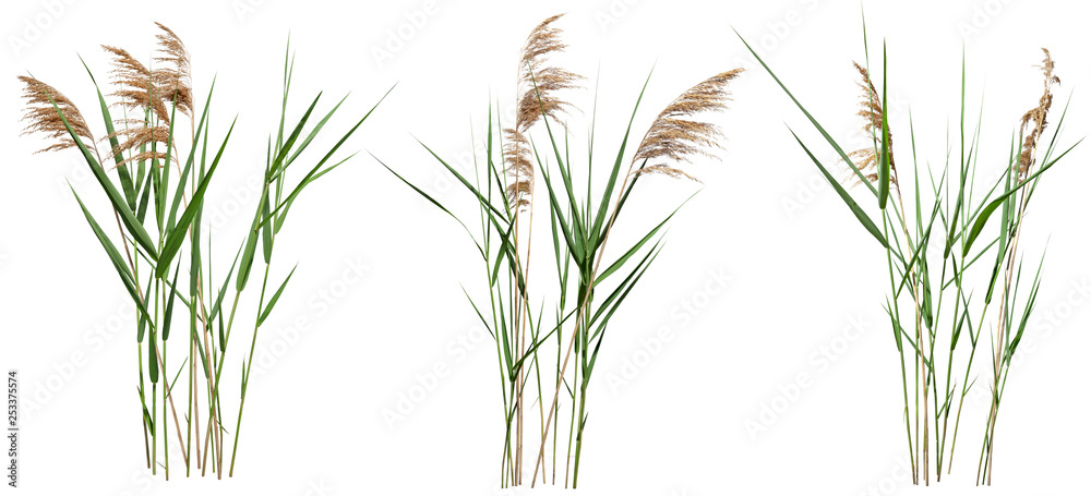 Fototapety, obrazy: Cattail and reed plant isolated on white background