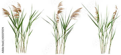 Poster Gras Cattail and reed plant isolated on white background