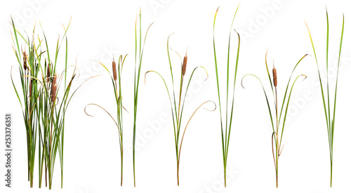 Tuinposter Gras Cattail and reed plant isolated on white background