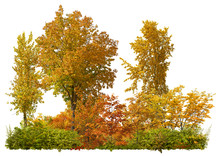 Row Of Trees And Shrubs Isolated On White Background. Maple Forest In Autumn