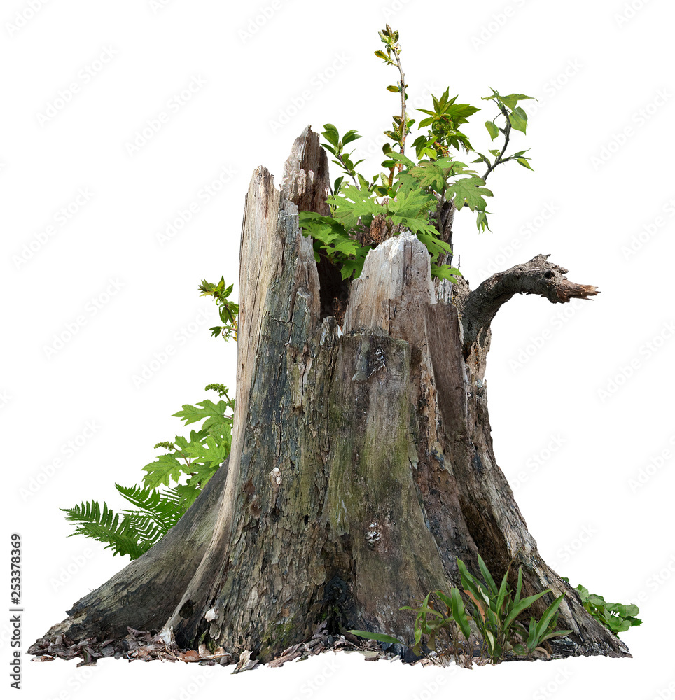 Fototapety, obrazy: Old tree trunk. Dead tree isolated on white background. Barn tree. Stump isolated.